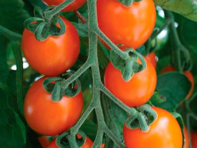 Альтернариоз томата (сухая пятнистость) — причины, симптомы и меры защиты (+21фото)