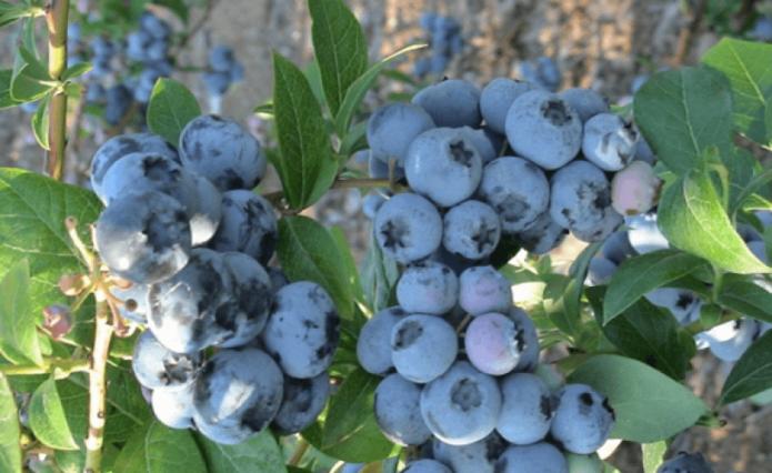 50 лучших сортов садовой голубики с описанием и характеристиками