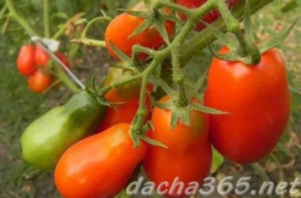 Желанный гость на вашем участке — томат «султан»: выращиваем без хлопот и наслаждаемся урожаем