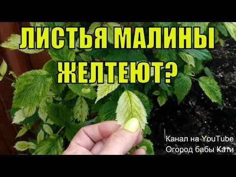 Почему у малины в июне краснеют листья, причины и что делать