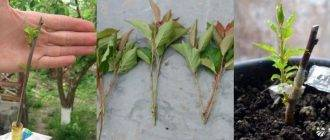 Особенности размножения вишни косточкой, порослью, черенками