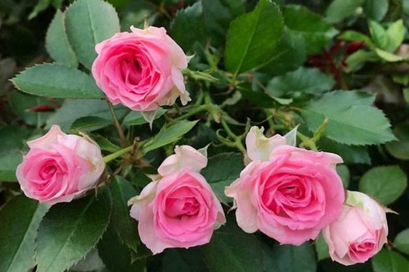 Розы спрей: особенности, сорта и правила ухода