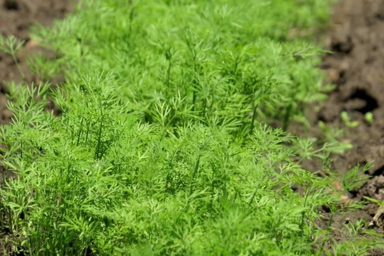 Посадка укропа в открытый грунт семенами: секреты богатого урожая