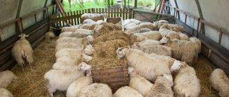 Выделка овечьей шкуры в домашних условиях: пошаговая инструкция