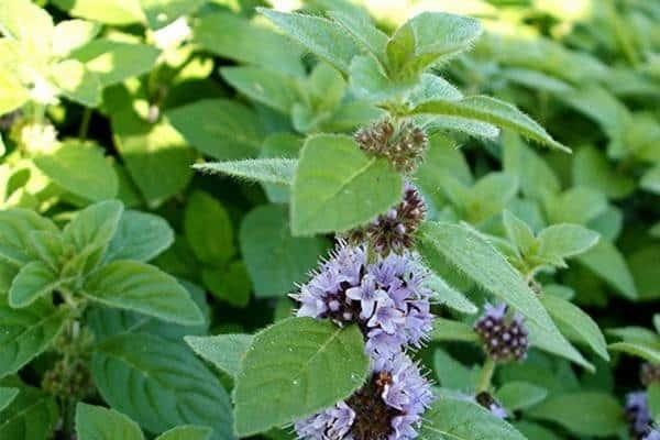 Трава мята лечебные свойства и противопоказания для здоровья человека