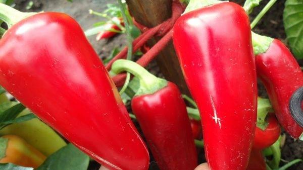 Характеристика перца Винни Пух, особенности его выращивания