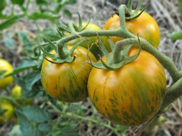 Томат вериге: описание и характеристика сорта, урожайность с фото