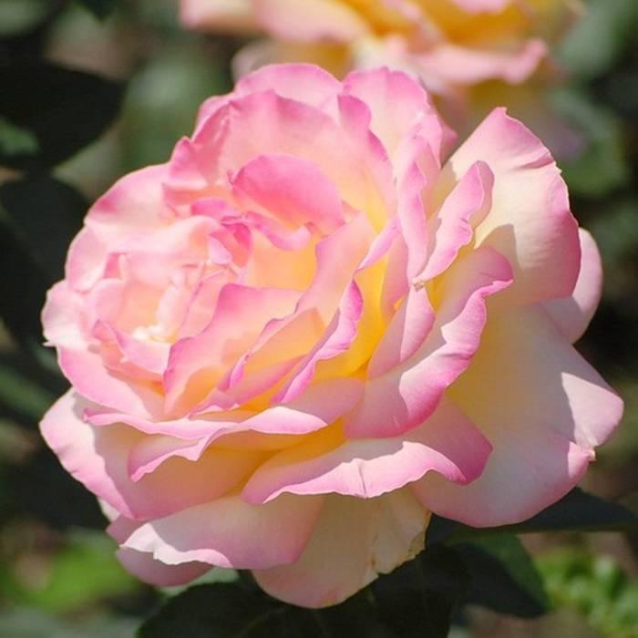 Роза глория дей