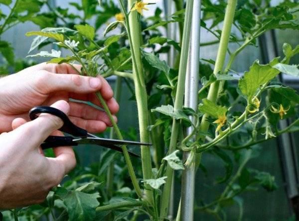 Как успешно вырастить традиционный салатный сорт помидоров розовый гигант