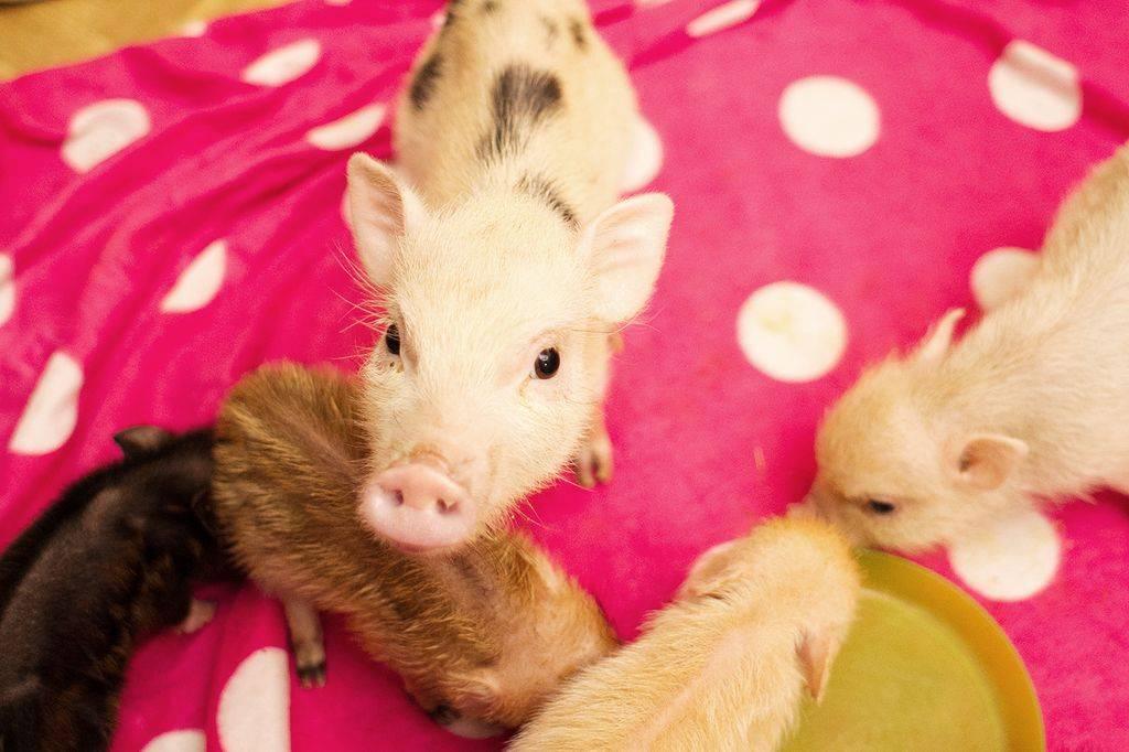 свинья в доме: стоит ли заводить себе мини-пига, даже если очень хочется