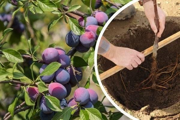 Как правильно выращивать и ухаживать за абрикосом в сибири и описание морозостойких сортов