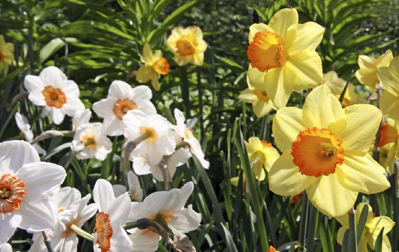 Нарцисс и его выращивание: особенности посадки и ухода