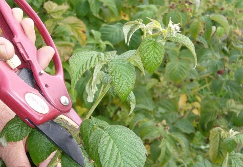 Как правильно обрезать малину осенью?