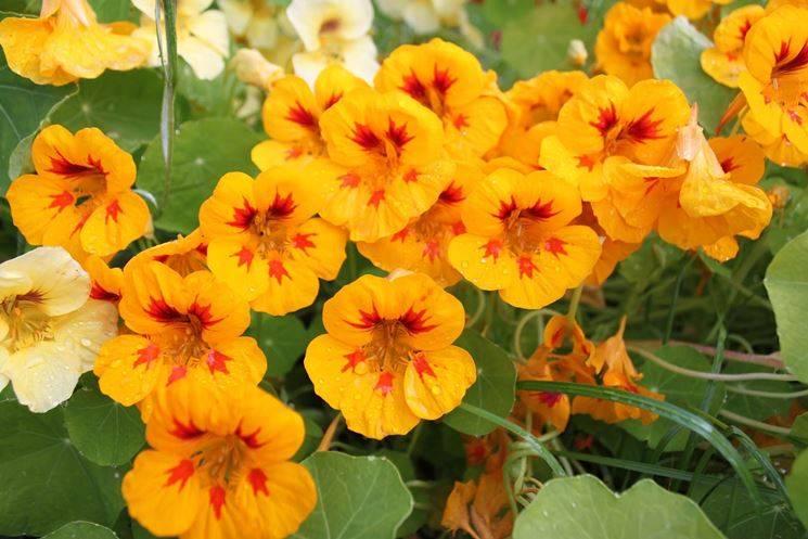 Настурция: выращивание из семян, посадка и уход в саду