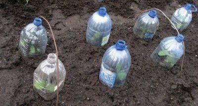 Посадка огурцов в 5-литровых бутылках – описание работы и 4 совета по уходу