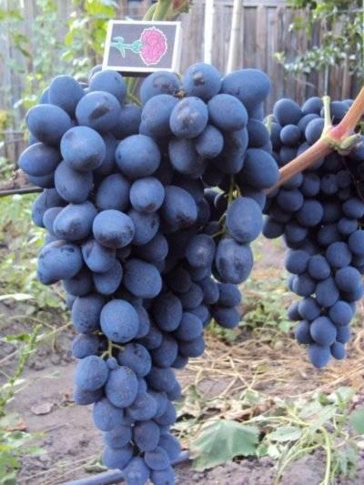 Описание винограда сорта фуршетный, правила посадки и ухода