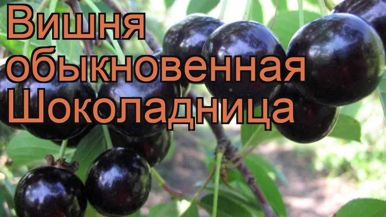 Описание вишни сорта расплетка и тонкости выращивания