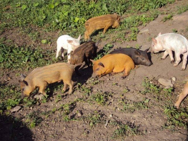 Свиньи кармалы: порода, о которой пока можно только мечтать