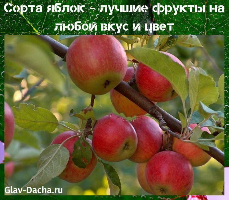 Яблони для холодного климата — сорт персиянка
