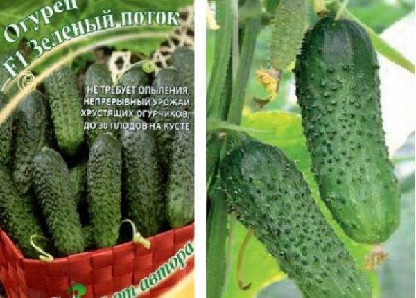 Описание сорта огурцов Изумрудный поток, особенности выращивания и ухода