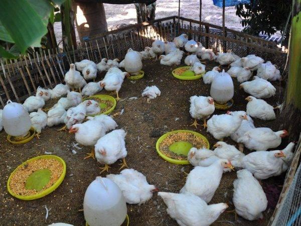 Как выращивать цыплят бройлеров кобб 500 в домашних условиях?