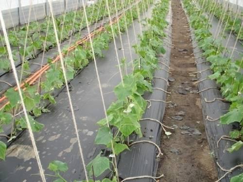 Выращиваем огурцы при помощи сетки