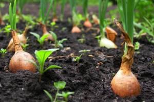 Когда собирать урожай репчатого лука?