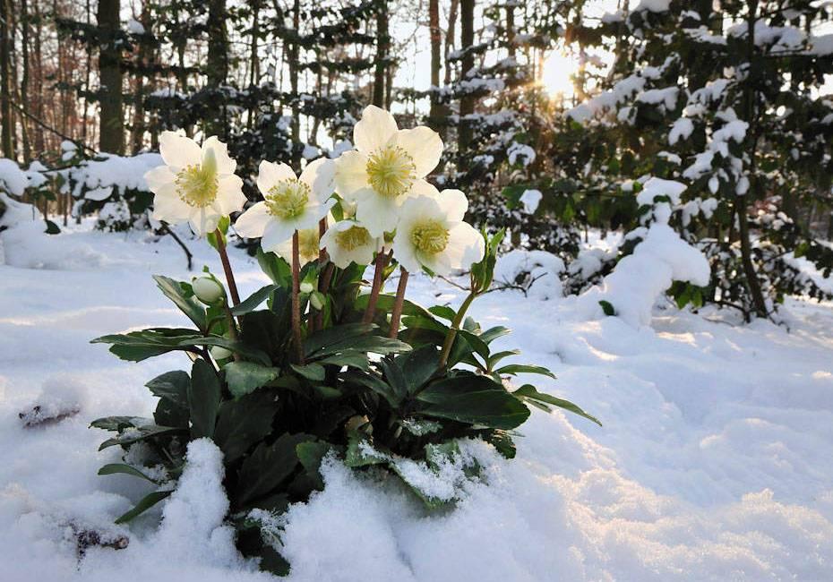 Морозник: посадка и уход, выращивание из семян