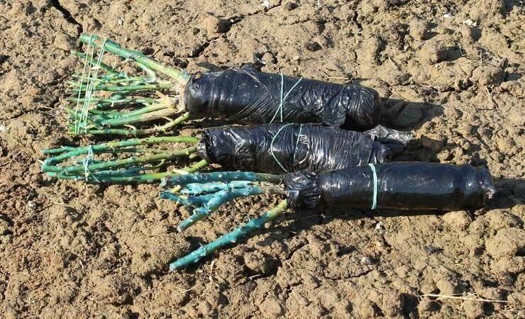 Хранение черенков роз зимой для осенней посадки