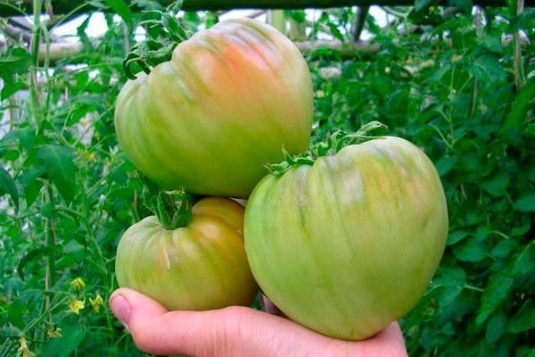 Томат медовый гигант: характеристика и описание сорта, инструкция по выращиванию помидоров и отзывы о них