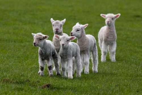 Беременность у козы: признаки, продолжительность, роды