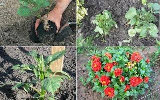 Однолетние георгины: описание, сорта, посадка и уход