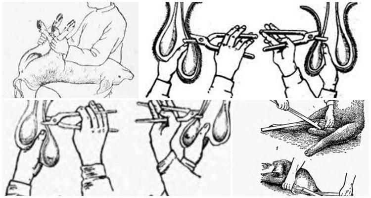 Кастрация поросят и хряков в домашних условиях, уход после процедуры