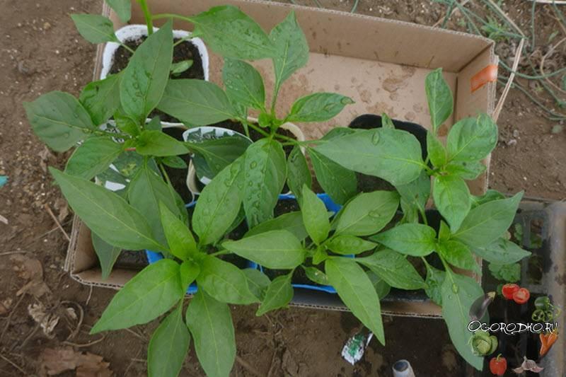 4 лучших подкормок для рассады перца и томатов, чтобы быстрее росли