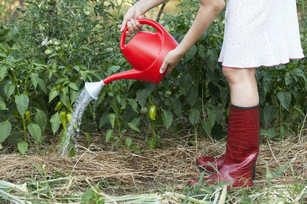 Полив перца в теплице и открытом грунте: как часто и правильно поливать