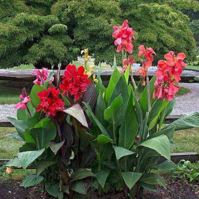 Цветок канна посадка и уход в открытом грунте как сохранить зимой канна в домашних условиях