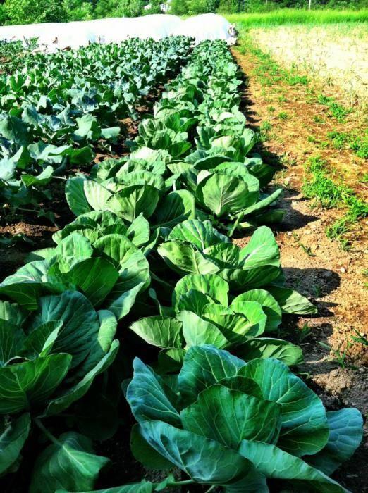 Кольраби: выращивание в открытом грунте, посадка и уход