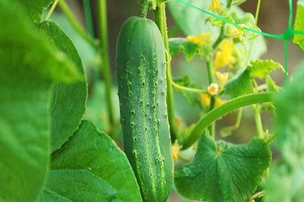 Выращивание огурца бьерн f1