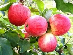 Что такое колоновидная яблоня: описание, посадка и уход