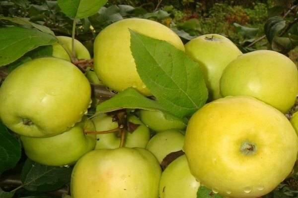 Яблоня «апорт»: описание сорта, фото и отзывы