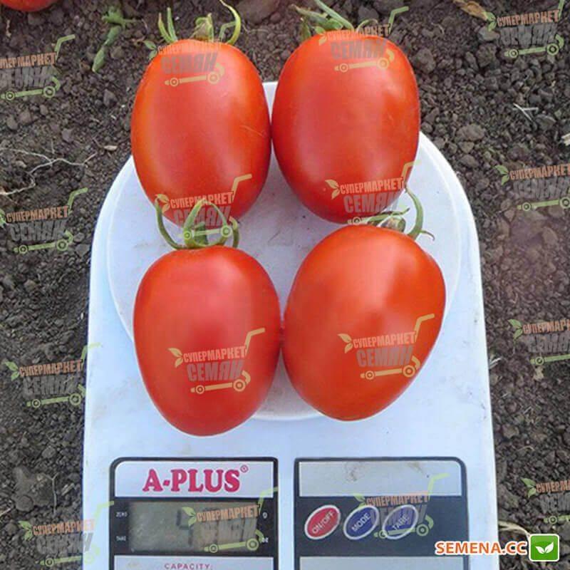 Сорт томата «дина»: описание, характеристика, посев на рассаду, подкормка, урожайность, фото, видео и самые распространенные болезни томатов