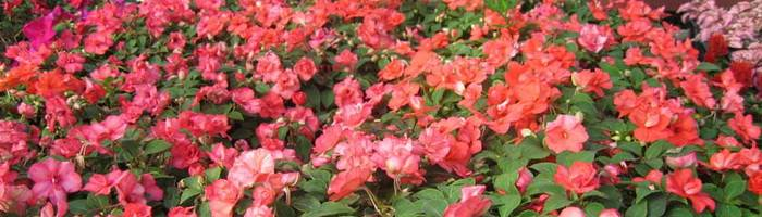 Недотрога на подоконнике, или все о розовом бальзамине том самб: особенности, уход, болезни, а также фото