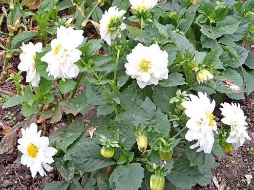 Выращивание однолетних георгинов из семян