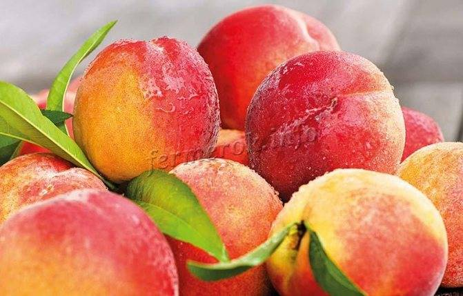 Персики для подмосковья: лучшие сорта, их описание и выращивание
