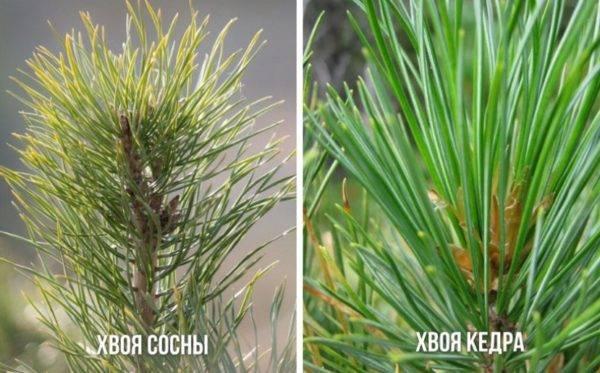 Советы по выращиванию саженца кедра в домашних условиях из семени