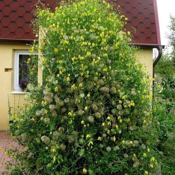 Клематисы «тайга»: описание, советы по выращиванию и разведению