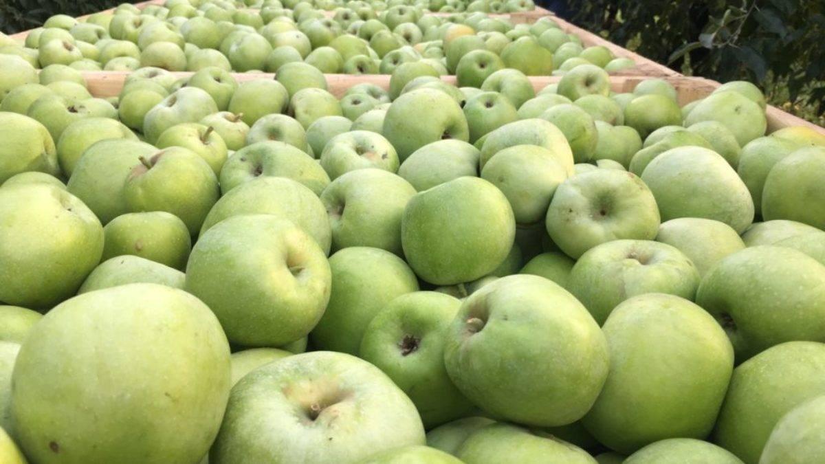 Фото, видео, отзывы, описание, характеристика, урожайность сорта помидор «яблоки на снегу».