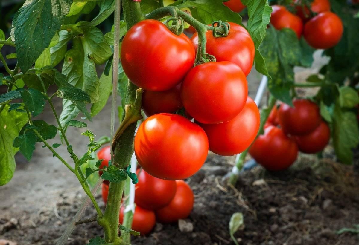 Штамбовые помидоры: за что их любят огородники?