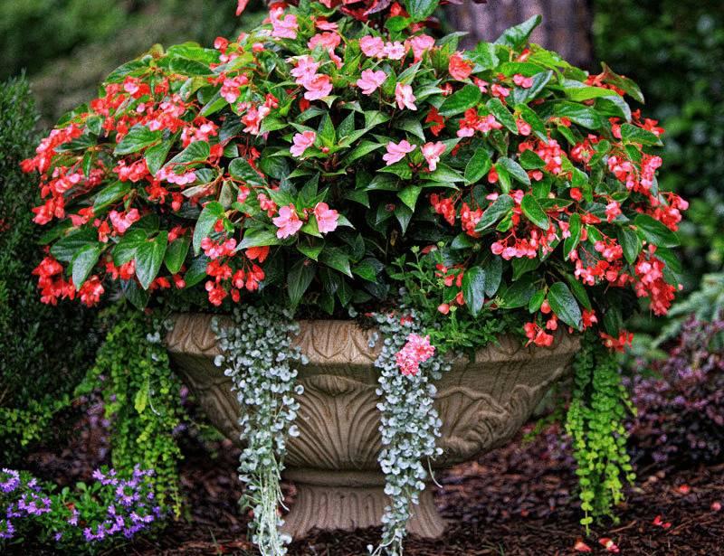 Как правильно выращивать бегонию вечноцветущую