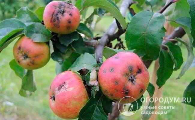 Плюсы элитного зимнего сорта яблони строевское